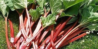 Zöldség vagy gyümölcs? – A rebarbara