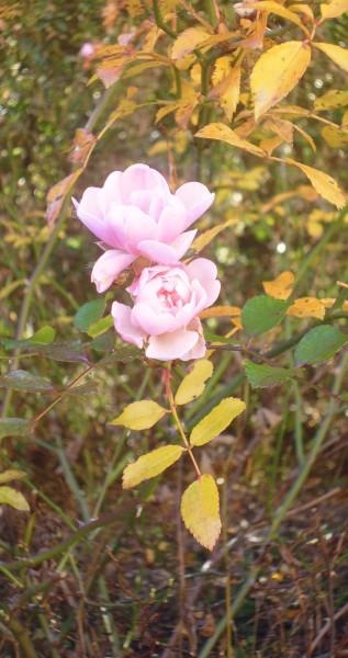 öszi rozsa