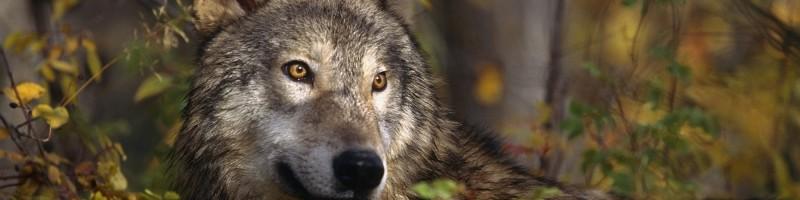 Farkas a Börzsönyben!